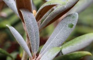 Mehltau Rhododendron Pflanzenkrankheiten