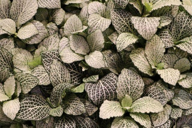 Mosaikpflanze
