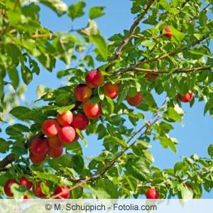 Äste der Kirschpflaume