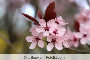 Blüten von Prunus cerasifera