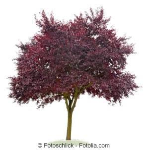 Kirschpflaumenbaum