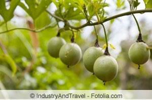 Passiflora edulis Frucht am Baum