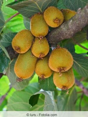 Actinidia Früchte
