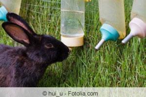 Kaninchen am Trinken