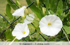 Zaunwinde Blüten