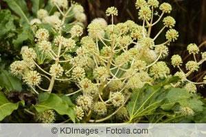 Blüten der Aralia elata