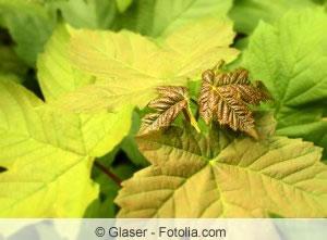 Blätter von Acer pseudoplatanus