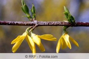 Forsythia im Frühling