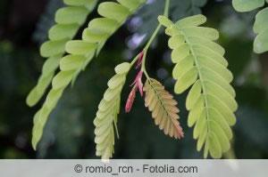 Blätter der Sauerdattel