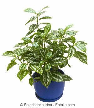 Pilea Pflanze