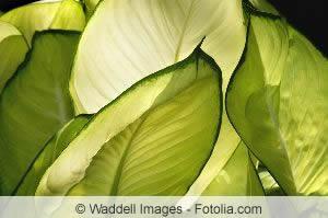 Blätter des Kolbenfadens