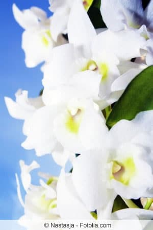 Dendrobium nobile nah
