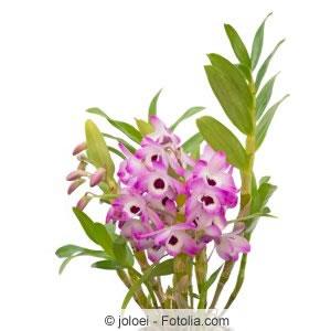 rosa Orchidee Dendrobium