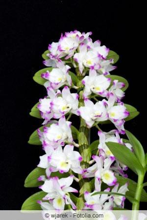 Dendrobium nobile Blüten
