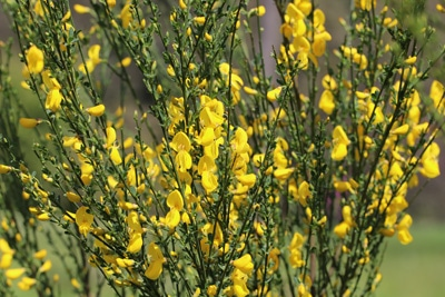 Besenginster giftige Pflanzen
