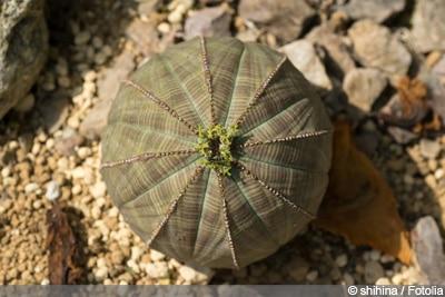 Euphorbia obesa, Baseball-Wolfsmilch