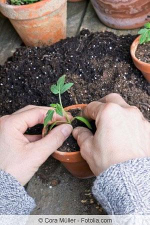Tomaten pflanzen