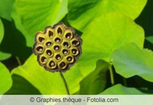 abgeblühte Lotusblume