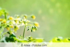 Blüte von Tomatenpflanzen
