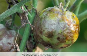 kranke Tomatenpflanze
