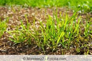 junger Rasen
