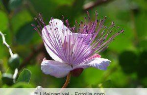 Kapernstrauch Blüte