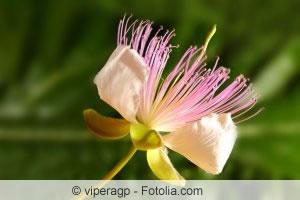 Capparis spinosa Blüte