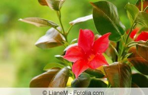 Dipladenia Blüte
