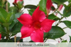 Blüte der Sundaville