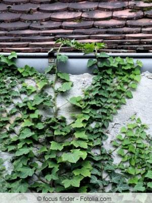 Efeupflanzen