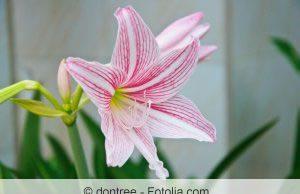 Blüte der Amaryllis