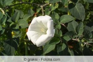 Blüte der Brugmansia