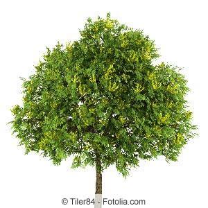 Blaseneschenbaum