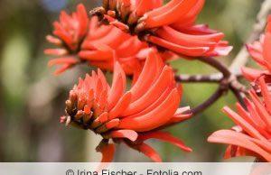 Korallenbaum