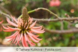 Indischer Korallenbaum