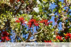 Korallenbaum Blüten