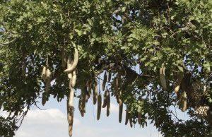 Leberwurstbaum