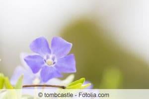 Vinca Major Blüte
