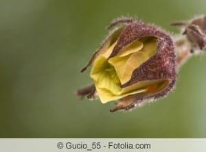 Nelkenwurz Blüte