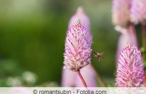 Blüte der Schaumblüte