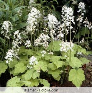 Schaumblüte Pflanze