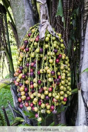 Früchte von Caryota