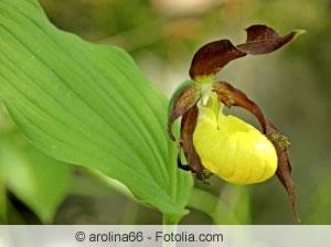 gelbe Frauenschuh Orchidee