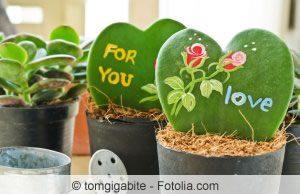 Herzblatt-Pflanze