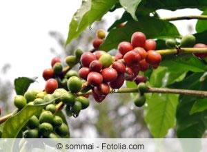 Bohnen Coffea arabica