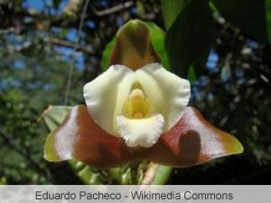 Lycaste Orchidee in der Natur