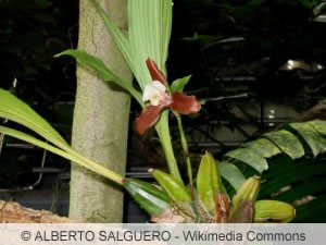 Lycaste Orchidee Pflanze
