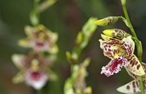 exotische Orchidee