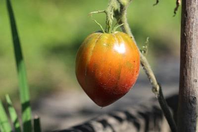 Gelbkragen Tomatenkrankheiten