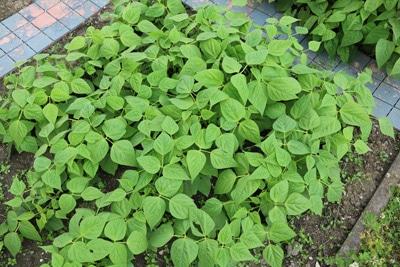Buschbohne Gemüsesorten